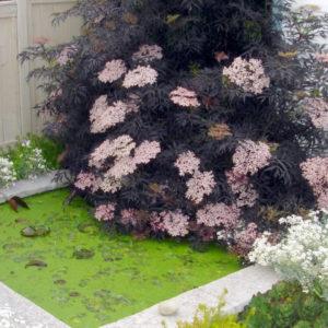 Бузина черная Блэк Лэйс <br>Sambucus nigra Black Lace