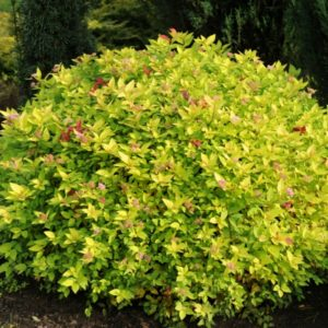 Спирея японская Голден Мун<br>Spiraea japonica Golden Moon