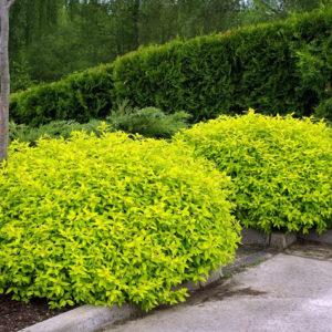 Спирея японская Голден Принцесс <br>Spiraea japonica Golden Princess