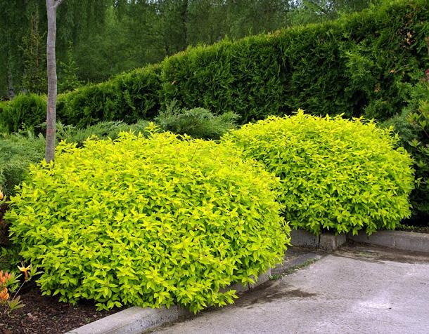 Спирея Голден принцесс 34 фото описание спиреи японской Golden Princess посадка и уход использование кустарника в ландшафтном дизайне
