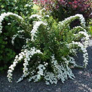 Спирея нипонская Сноумоунд <br>Spiraea nipponica Snowmound