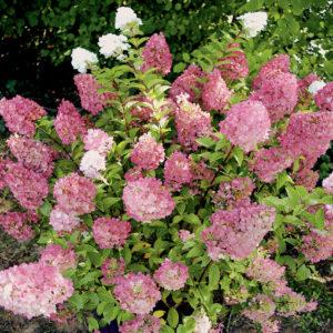 Гортензия метельчатая Сандей Фрайз <br>Bhydrangea paniculata Sundae Fraise