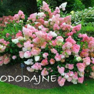 Гортензия метельчатая Ванила Фрайз <br>Hydrangea paniculata Vanille Fraise