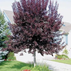 Черемуха виргинская Шуберт <br>Prunus virginiana Shubert