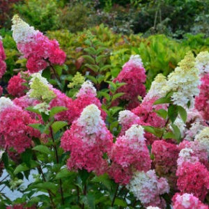 Гортензия метельчатая Фрайз Мельба <br>Hydrangea paniculata Fraise Melba