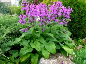Буквица <br>Betonica grandiflora