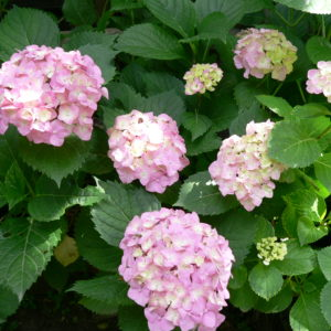 Гортензия крупнолистная <br/>Hydrangea macrophylla Early Sensation