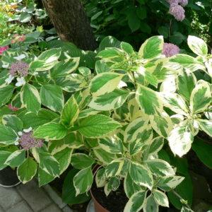 Гортензия крупнолистная Вариегата<br/>Hydrangea macrophylla Variegata