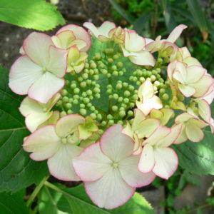 Гортензия крупнолистная <br/>Hydrangea macrophylla Hovaria Love You Kiss