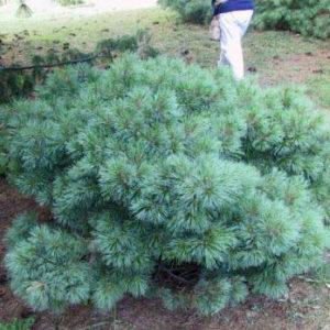 Сосна веймутова Блю Шег <br>Pinus strobus Blue Shag