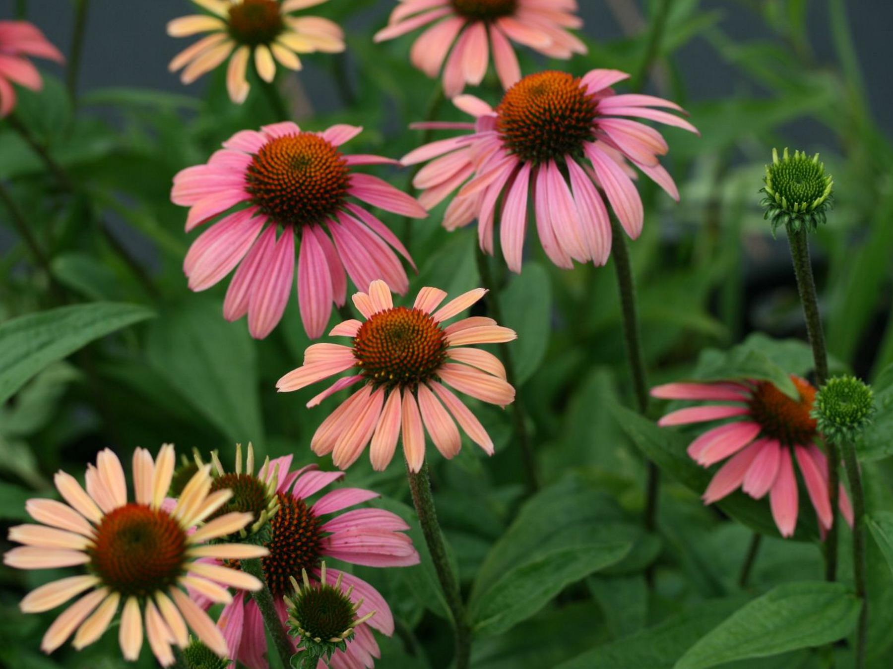 цветы эхинацеи картинки солнечная