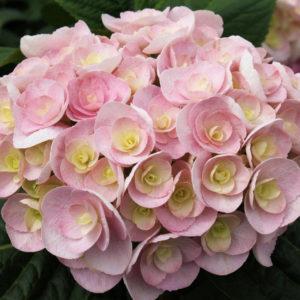 Гортензия крупнолистная<br/> Hydrangea macrophylla You & Me Love