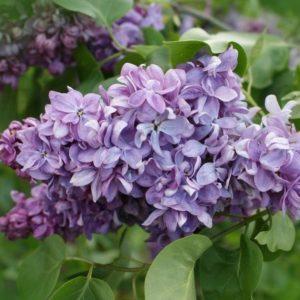 Сирень  обыкновенная Маршал Ланн <br> Syringa vulgaris Marechal Lannes