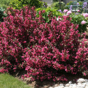 Вейгела цветущая Нана Пурпуреа<br>Weigela florida Nana Purpurea