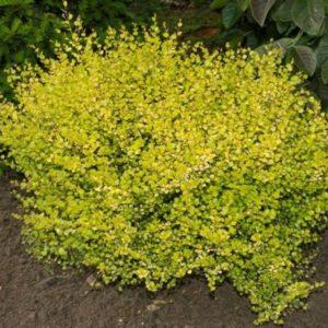 Береза нана Голден Треже <br>Betula nana Golden Treasure