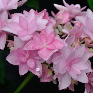 Гортензия крупнолистная Романс Пинк<br>Hydrangea macrophylla Romance pink