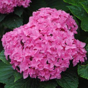 Гортензия крупнолистная Перфекшн<br>Hydrangea macrophylla Perfection
