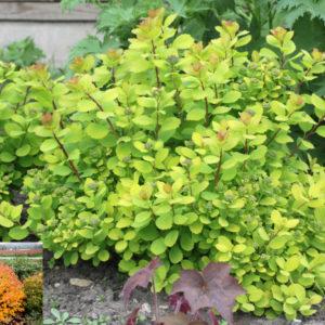 Спирея березолистная Тор голд <br>Spiraea betulifolia Tor Gold