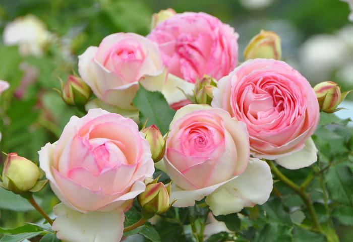 Купить Роза плетистая Пьер Де Ронсар (Эден Роз) Rose climber ...