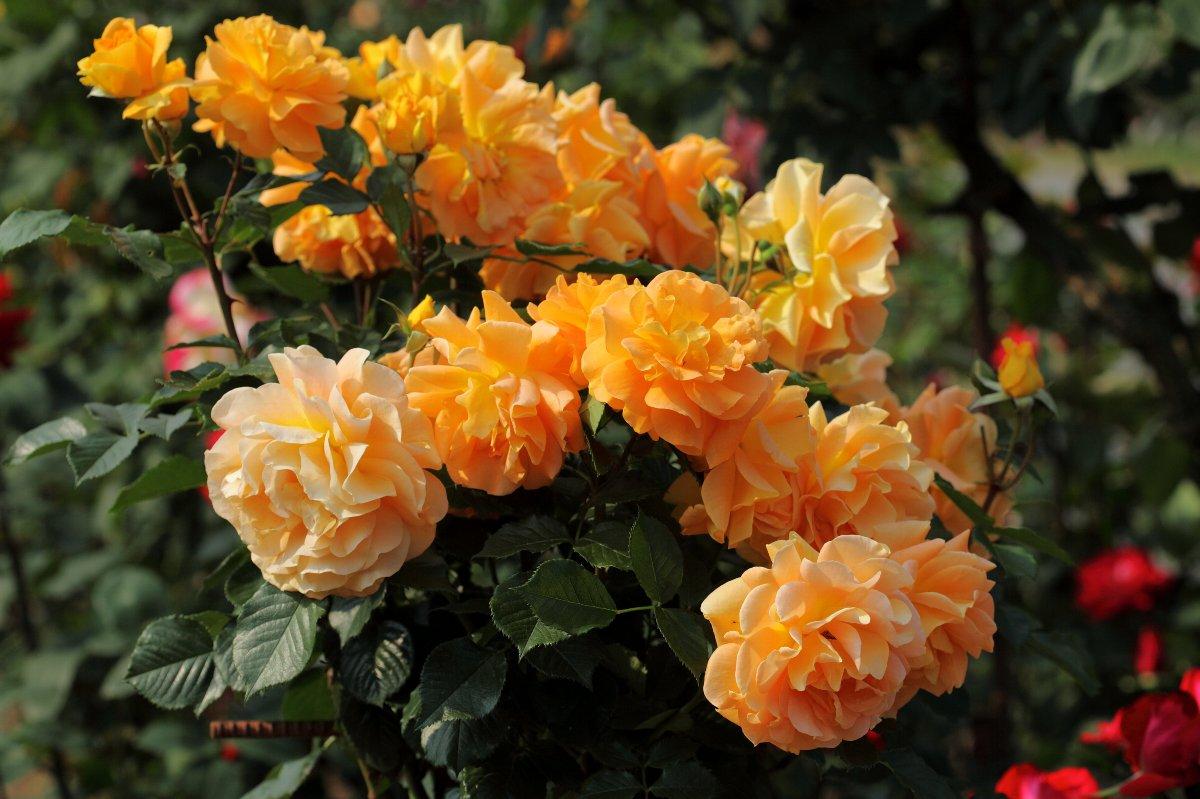 Купить Роза флорибунда Голдэлзэ Rose floribunda Goldelse