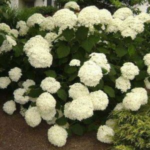 Гортензия древовидная Анабель Стронг<br>Hydrangea arborescens Strong Annabelle