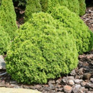 Ель сизая Альберта Глоб<br>Picea glauca Alberta Globe