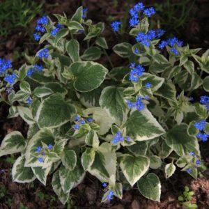 Бруннера крупнолистная Вариегата<br> Brunnera macrophylla Variegata