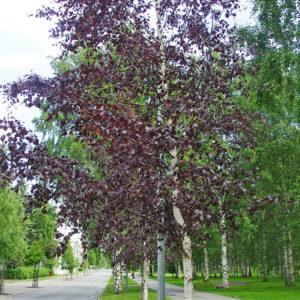 Береза повислая Пурпуреа <br>Betula pendula Purpurea