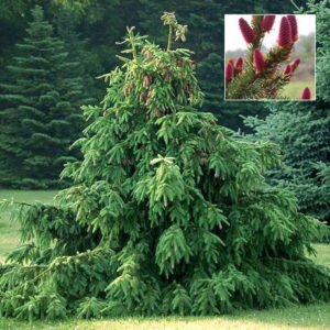 Ель обыкновенная Акракона <br>Picea abies Acrocona