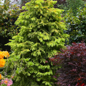 Ель обыкновенная Ауреа <br>Picea abies Aurea