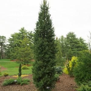 Ель обыкновенная Колумнарис <br>Picea abies Columnaris