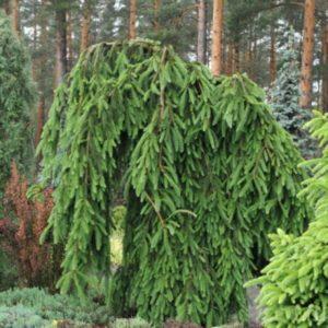 Ель обыкновенная Фробург <br>Picea abies Frohburg