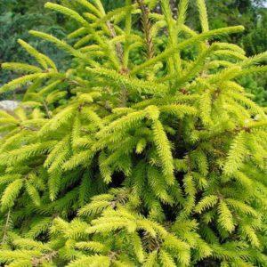 Ель обыкновенная Конка <br>Picea abies Konca