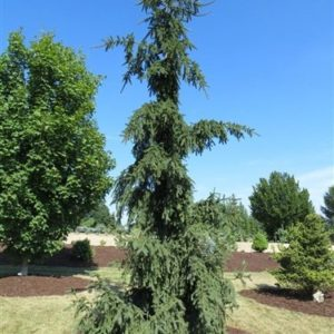 Ель обыкновенная Ротенхаус <br>Picea abies Rothenhaus