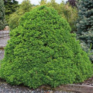 Ель обыкновенная Томпа <br>Picea abies Tompa