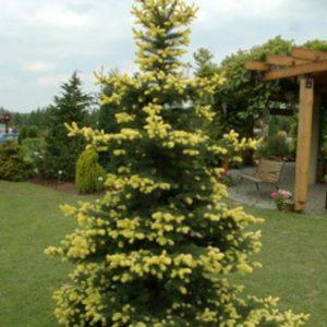 Ель колючая Майголд <br>Picea pungens Maigold
