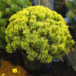 Сосна горная Карстенс Винтер Голд <br>Pinus mugo Carsten's Wintergold