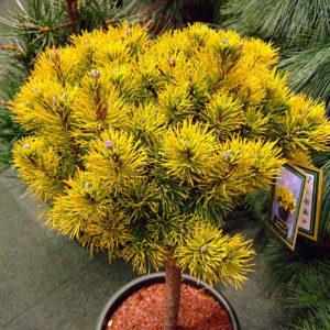 Сосна горная Винтер Голд на штамбе <br>Pinus mugo Winter Gold Ра