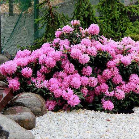 Купить Рододендрон Розеум Элеганс Rhododendron Roseum Elegans