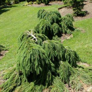 Ель обыкновенная Форманек <br>Picea abies Formanek
