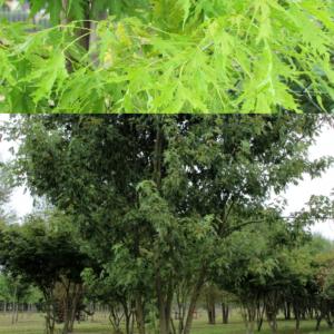 Клен сахаристый (серебристый) Лациниатум Виери <br>Acer saccharinum Laciniatum Wieri
