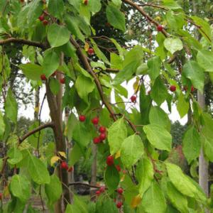 Яблоня Ред Джед <br>Malus Red Jade