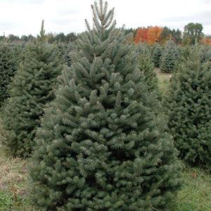 Ель колючая (ЗЕЛЕНАЯ)<br>  Picea pungens