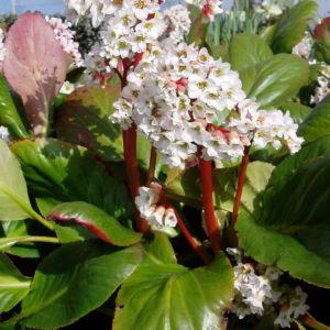 Бадан гибридный Брессингем Вайт<br>Bergenia hybride Bressingham White