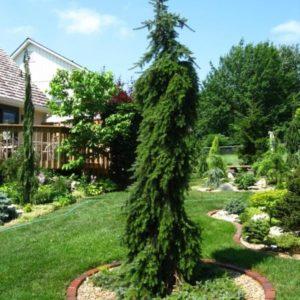 Ель сербская пендула<br>Picea omorika Pendula
