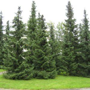 Ель сербская<br>Picea omorika