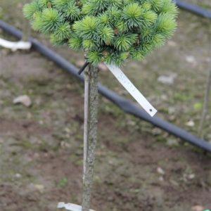 Ель колючая Брайнек на штамбе – Picea pungens Brynek