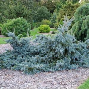 Ель колючая Глаука Прострата <br>Picea pungens Glauca Prostrata