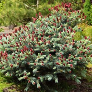 Ель колючая Герман Нау <br>Picea pungens Hermann Naue