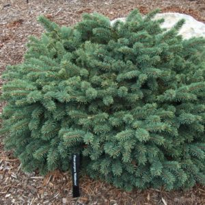 Ель колючая Вальдбрун <br>Picea pungens Waldbrunn